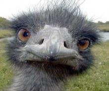Первый опыт с яйцами птенцов страуса оказался неудачным