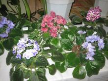 Расима Хазиахметова выращивает фиалки более чем 150 видов