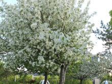 Алмас Идрисов предлагает праздновать День цветения яблонь