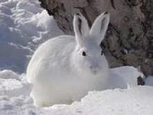 Заяц-беляк занесен в «Красную книгу»