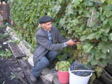 Садоводы Татарстана выращивают уже по 3-4 тысячи черенков винограда на участке