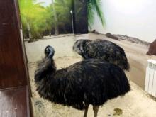 2 трехлетних самок страуса Эму в Набережных Челнах продали за 30000 рублей