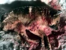 Живодера, расстрелявшего собаку в новогоднюю ночь, видимо, не найдут