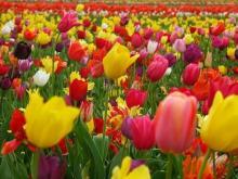 В Челнах увеличат количество высаженных тюльпанов и виол. Всего посадят более 1000000 цветов