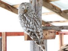Орнитолог нацпарка 'Нижняя Кама' спас еще одну сову, сбитую автомобилем возле Елабуги
