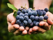 Дачники - виноградари из Татарстана стали фермерами